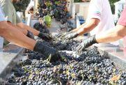 selección de racimos de uva