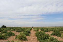 Viñedo en La Mancha