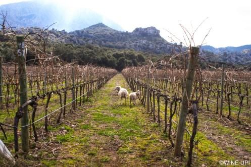 Viñedos en la Sierra de Tramontana (Mallorca) - Vinyes Mortitx