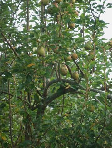 Kelley pear 005