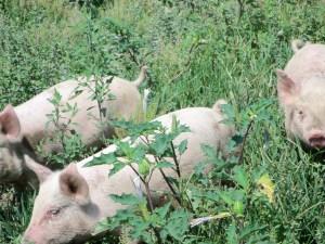 Feeder pigs 017