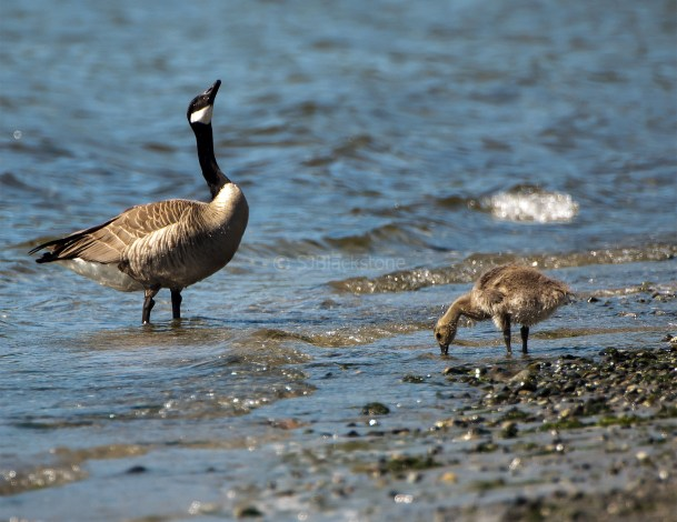 Canada Goose and Gosling1