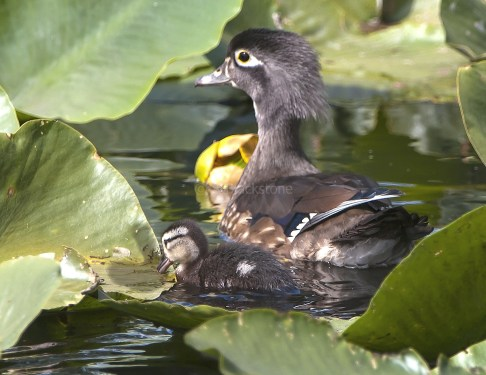 Female Wood Duck and Duckling