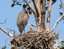 Great Blue Heron and Nestling