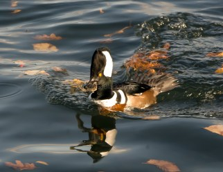 Hooded Merganser Makes a Great Catch