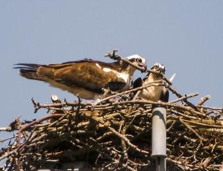 An Osprey Pair Remodel Their Nest