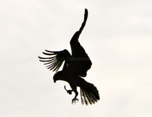 Flying Osprey Silhouette
