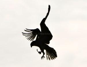 Flying Osprey Silhouette