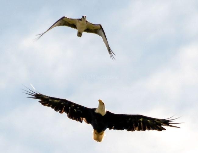 Osprey and Eagle