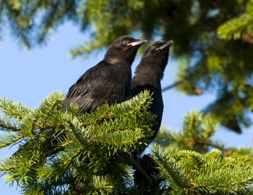 Twin Blue-Eyed Crows
