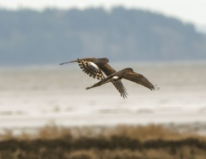 Two Northern Harrier Females Duke It Out
