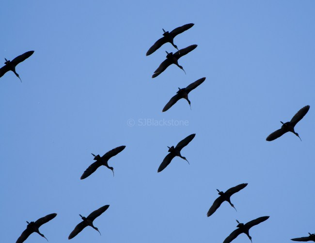 White-Faced Ibis in Flight