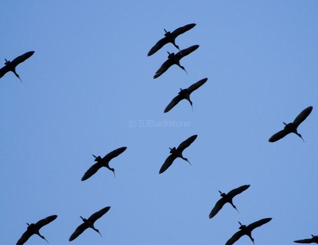 White-Faced Ibis in Flight