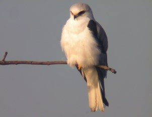White-Tailed Kite1