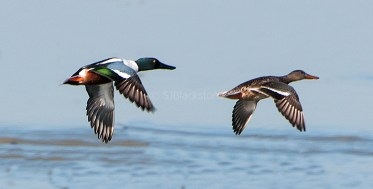 Shovelers in Flight