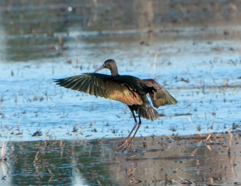 White-Faced Ibis on the Wing