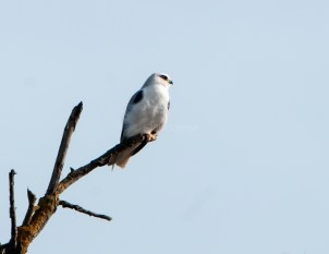 White-Tailed Kite 5