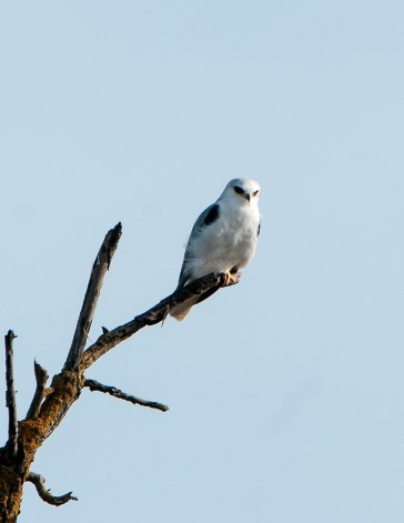 White-Tailed Kite 6