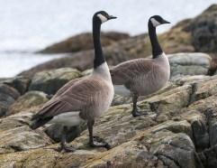 March Canadian Geese4