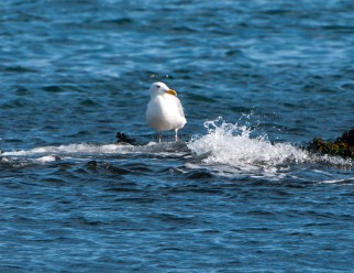 March Glaucous-Winged Gulls3