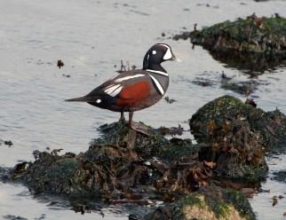 March Harlequin Ducks11