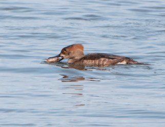 March Hooded Mergansers4