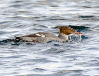 March Red-Breasted Mergansers9