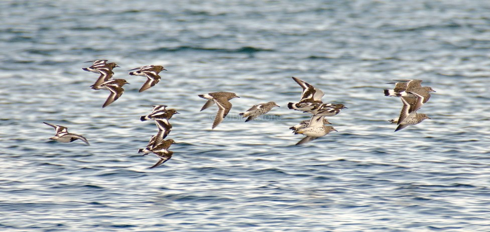 Surf Birds and Black Turnstones3