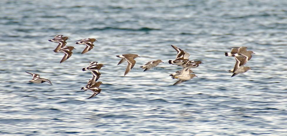 Surf Birds and Black Turnstones3