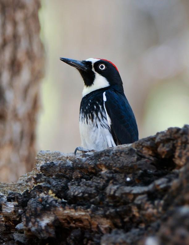 Acorn Woodpecker1