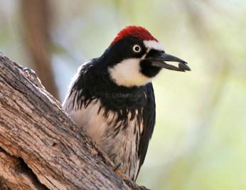 Acorn Woodpecker2