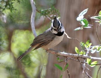 Bridled Titmouse1