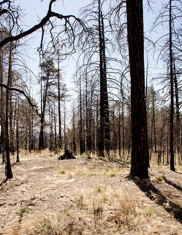 Chiricahua Fire Damage1