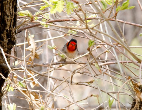Red-Faced Warbler11