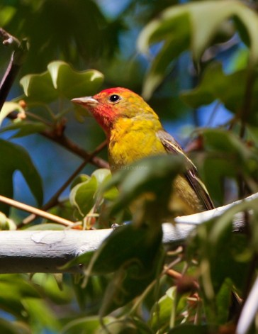 Western Tanager3