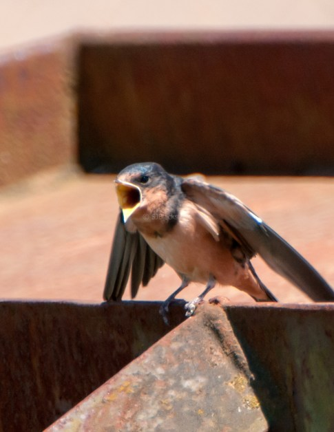 Barn Swallow Chicks07