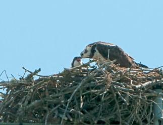 Juvenile UVic Osprey04