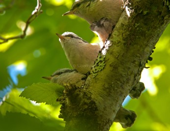 Rose Breasted Nuthatch Chicks02
