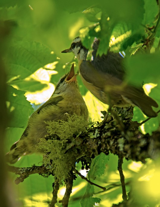 Rose Breasted Nuthatch Chicks04
