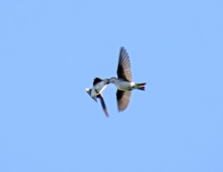 Violet-Green Swallows Feed on the Wing01