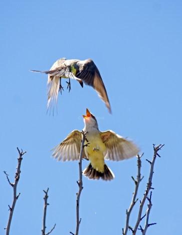 Western Kingbird Chicks02