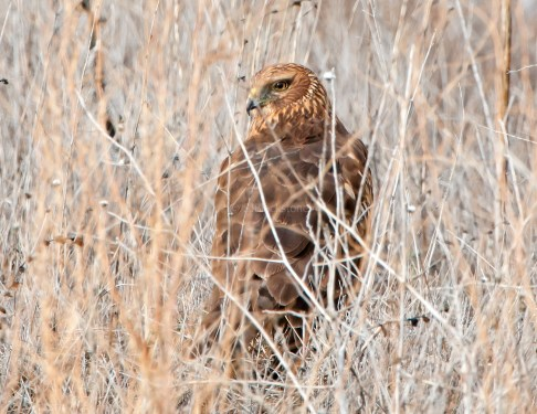 Northern Harrier Hides in the Grass