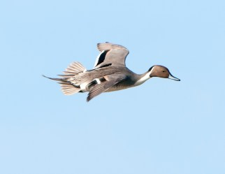 Northern Pintail in Flight1