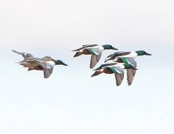 Northern Shovelers in Flight1