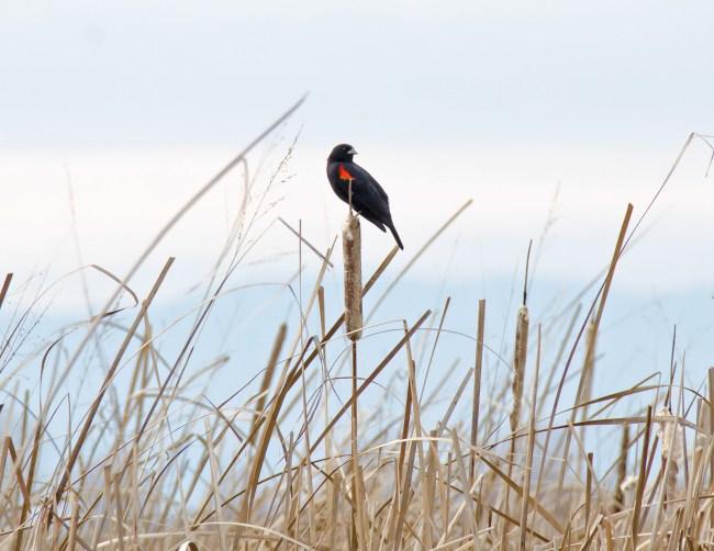 Red-Winged Blackbird in Cattails