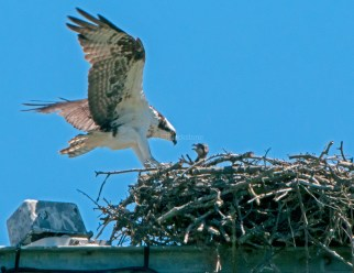 Female landing with chick watching