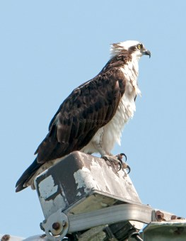 Female osprey on watch