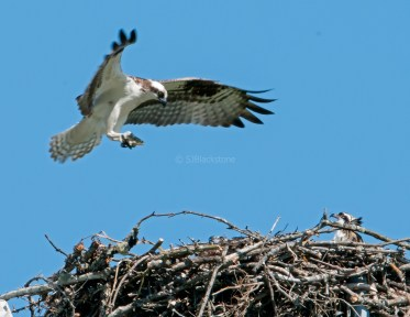 Male osprey delivers trout