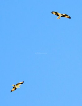 Two male osprey vie for territory
