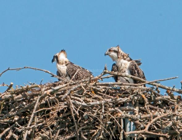 Two windblown chicks